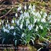 February 2021 Large Snowdrop Cluster
