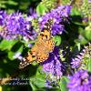 Hebe & Painted Lady Butterfly 2