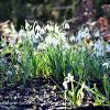February 2021 Snowdrops in Light and Shade