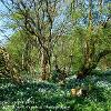 Wild Garlic Carpet (Kirkby Stephen)