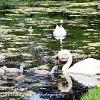 Sizergh Swan  Family 1